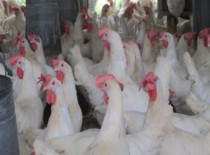 ¡Pilas! Virus aviar está causando conjuntivitis en el centro del país